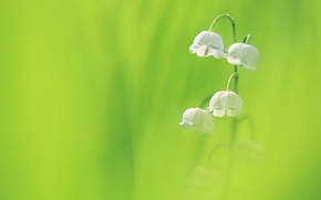 Wallpaper flowers, background, petals, Lily of the valley