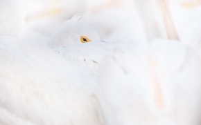 Picture white, eye, wildlife, pelican, curled up