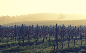 Picture wine, morning, fog, sunrise, dawn, vineyard
