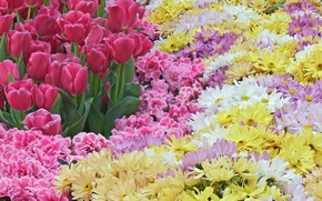 Wallpaper flowers, spring, tulips, pink, a lot, chrysanthemum