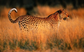 Picture sunset, Leopard, Savannah, Africa