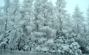 Picture winter, forest, snow, trees, frost, forest, Winter, trees, snow, frost