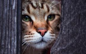 Picture eyes, cat, look, Kote