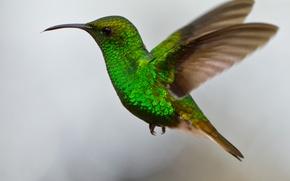 Picture bird, wings, beak, Hummingbird