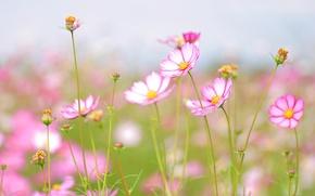 Picture flowers, tenderness, beauty, Wallpaper for desktop, widescreen Wallpaper, widescreen Wallpaper, petal, freshness, flowering, download Wallpaper, ...