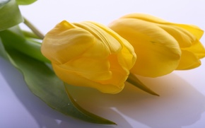 Picture leaves, macro, flowers, bright, beauty, petals, light, tulips, large, yellow, yellow, flowers, beauty, petals, Tulips