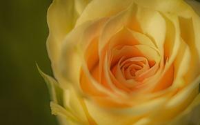 Wallpaper macro, rose, Bud, yellow, yellow rose