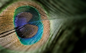 Wallpaper macro, peacock, Pen