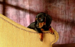 Wallpaper each, dog, Dachshund