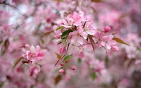 Picture tree, pink, spring, flowering