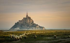 Picture France, island, sheep, Mont-Saint-Michel