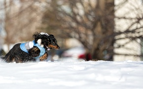 Picture snow, dog, running