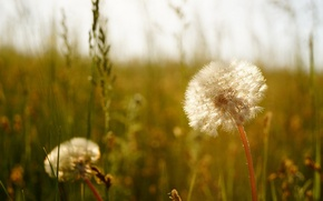 Picture summer, the steppe, dandelions
