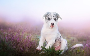 Picture field, nature, dog, meadow, puppy, Wallpaper from lolita777, Aussie