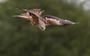 Picture flight, bird, hunting, red kite