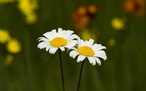 Picture flowers, chamomile, field