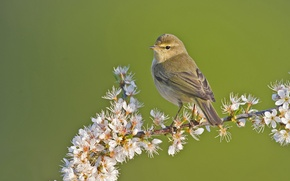 Picture flowers, bird, branch, Warbler
