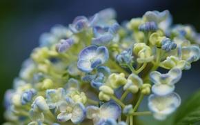 Wallpaper macro, flowers, white, buds, lilac, hydrangea