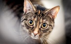 Picture cat, eyes, cat, mustache, look, face, blur