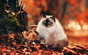 Picture cat, look, Cat, nature, bokeh, foliage, autumn, blue, fluffy, mushrooms, eyes