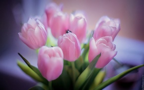 Picture flowers, pink, bouquet, petals, tulips, beautiful flowers, pink tulips
