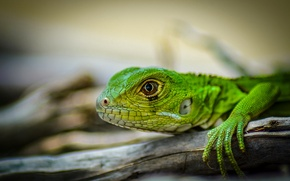 Picture head, lizard, iguana, green iguana