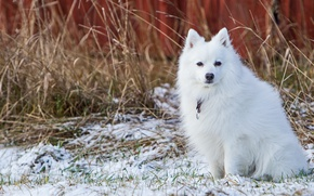 Picture winter, white, snow, dog, face, sitting, dry grass, late autumn, Spitz