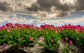 Picture field, the sky, clouds, the wind, photoshop, tulips, Netherlands, a lot