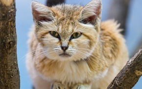 Picture look, sandy the cat, ©Tambako The Jaguar, sand cat, sand cat
