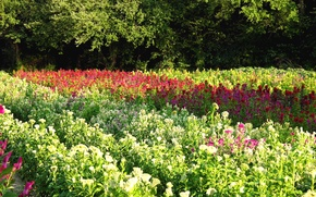 Picture field, trees, flowers, Summer, summer, trees, flowers, fields, flowering