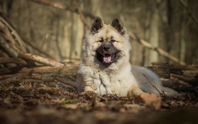 Picture dog, dog, The eurasier