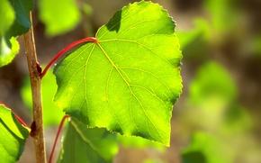 Wallpaper greens, the sun, light, sheet, glare, spring, Linden