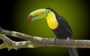 Wallpaper bird, Toucan, beak, branch