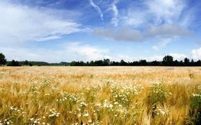 Picture sky, field, wheat