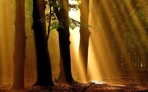 Picture autumn, forest, rays, trees, Nature, morning, forest, trees, nature, autumn, morning, fall