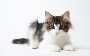 Picture cat, look, Norwegian forest cat