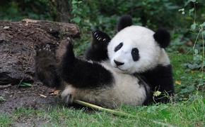 Picture baby, bear, Panda
