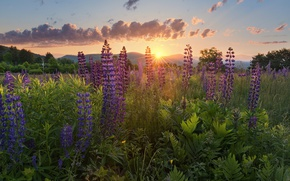 Picture the sun, rays, light, flowers, nature, lupins