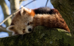 Picture branches, tree, sleeping, red Panda, Firefox