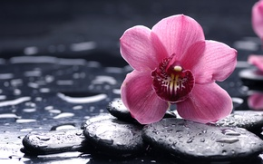 Wallpaper flower, drops, macro, stones, pink, Orchid, black, orchid, smooth