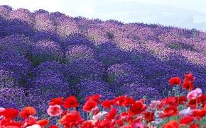 Picture flowers, France, Maki, petals, lavender, plantation, Provence