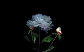 Picture light, Bush, shadow, petals, stem, Bud
