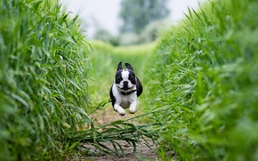 Picture field, running, path, Boston Terrier
