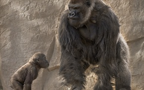 Wallpaper dad, cub, education, gorilla, monkey
