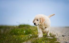 Picture dog, puppy, Golden Retriever, Golden Retriever