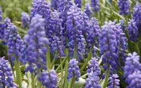 Picture flowers, background, Wallpaper, plant, spring, garden, purple