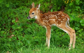 Picture grass, cub, white-tailed deer, fawn, deer