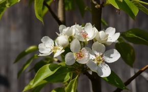 Picture flowers pear, beautiful flowers pear, the inflorescence of pear, pear tree in spring