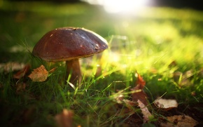 Picture summer, grass, the sun, light, glare, glade, Mushroom, leaves, in the woods