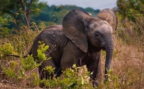 Picture elephant, plants, Africa, Savana, wildlife